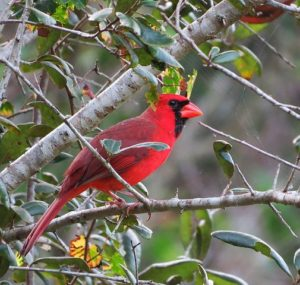 Virginia Northern Cardinal