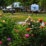 roses at campground