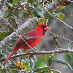 Virginia Northern Cardinal