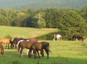 horses at fort valley ranch